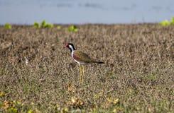 Pájaros beaked rojos al aire libre Imagen de archivo libre de regalías