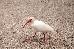 Pájaros blancos americanos del albus de Ibis Eudocimus Imagen de archivo libre de regalías