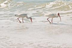Pájaros blancos de ibis Fotografía de archivo libre de regalías