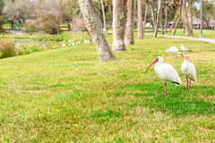 Pájaros blancos de Ibis en el parque del lago Imagen de archivo libre de regalías