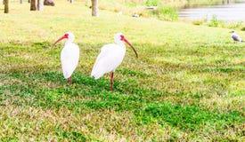 Pájaros blancos de Ibis en el parque del lago Foto de archivo libre de regalías