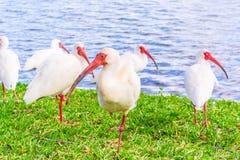 Pájaros blancos de Ibis en el parque del lago Foto de archivo