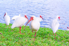 Pájaros blancos de Ibis en el parque del lago Fotos de archivo