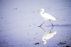 Pájaros blancos de la garceta Imagen de archivo