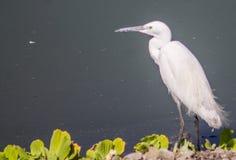 Pájaros blancos de la garceta al aire libre Fotografía de archivo