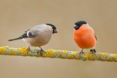 Pájaros cantantes, varón y hembra Piñonero rojo del pájaro que se sienta en la rama amarilla del liquen, Sumava, República Checa  Foto de archivo