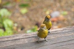 Pájaros Castaña-atados lindos de Minla en caminar amarillo en flo de madera Fotografía de archivo libre de regalías