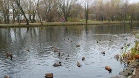 Pájaros casuales del od de la vida en la charca del parque de la ciudad en otoño almacen de video