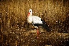 Pájaros - ciconia del Ciconia de la cigüeña blanca Fotos de archivo