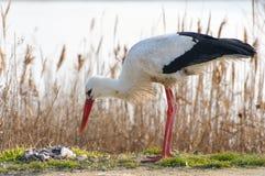 Pájaros - ciconia del Ciconia de la cigüeña blanca Imágenes de archivo libres de regalías