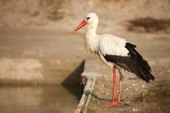 Pájaros - ciconia del Ciconia de la cigüeña blanca Fotos de archivo libres de regalías