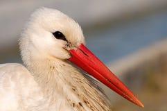 Pájaros - ciconia del Ciconia de la cigüeña blanca Cierre para arriba Imagen de archivo