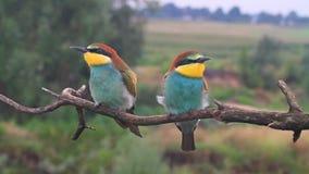 Pájaros coloreados exóticos divertidos jovenes que se sientan en una rama almacen de metraje de vídeo