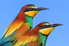 Pájaros coloreados pares felices contra el cielo Fotografía de archivo libre de regalías