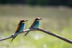 Pájaros coloridos Fotografía de archivo