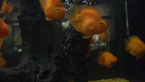 Pájaros coloridos del amor de los pescados del oro de los pescados Lanzamiento de la cámara lenta metrajes