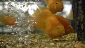 Pájaros coloridos del amor de los pescados del oro de los pescados Lanzamiento de la cámara lenta almacen de video