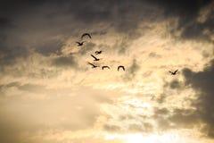 Pájaros como siluetas que vuelan en cielo dramático Foto de archivo libre de regalías
