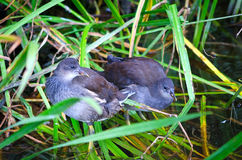 Pájaros comunes de la polla de agua de los jóvenes Fotografía de archivo