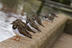 Pájaros costeros 2 del Turnstone foto de archivo libre de regalías
