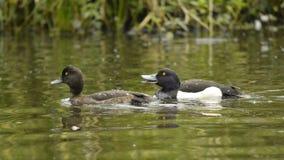 Pájaros de agua Foto de archivo