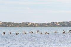 Pájaros de agua australianos grandes del pelícano que vuelan en línea en Coorong n Imágenes de archivo libres de regalías