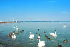 Pájaros de agua, cisnes, patos y gaviotas cerca del embarcadero de Siofok i Imagen de archivo