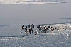 Pájaros de agua en el río Olt fotos de archivo libres de regalías