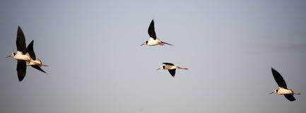 Pájaros de agua en vuelo Fotos de archivo
