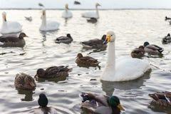 Pájaros de agua islandeses Imagen de archivo