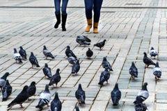 Pájaros de alimentación de la paloma diversión Fotografía de archivo