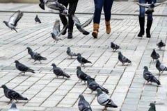 Pájaros de alimentación de la paloma diversión Fotos de archivo libres de regalías