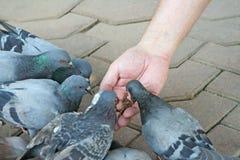 Pájaros de alimentación de la mano del hombre en templo imagenes de archivo