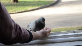 Pájaros de alimentación de la muchacha palomas con las manos en el travesaño casero de la ventana almacen de video