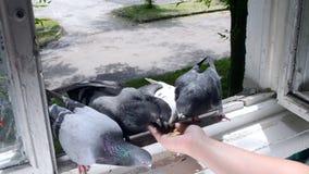 Pájaros de alimentación de la muchacha palomas con las manos en la ventana casera metrajes