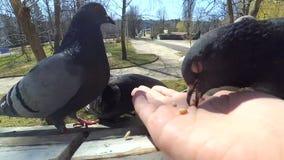 Pájaros de alimentación de la muchacha palomas con las manos en la ventana casera almacen de metraje de vídeo