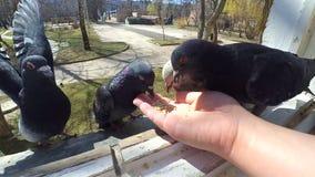 Pájaros de alimentación de la muchacha palomas con las manos en la ventana casera almacen de video