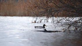 Pájaros de alimentación Un pato come las semillas en un bosque en un lago o en un río Fauna hermosa Cierre para arriba metrajes