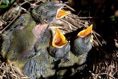 Pájaros de bebé Fotografía de archivo libre de regalías