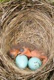Pájaros de bebé Imagen de archivo libre de regalías