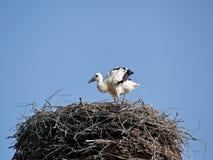 Pájaros de bebé de la cigüeña blanca en una jerarquía Foto de archivo libre de regalías