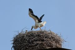 Pájaros de bebé de la cigüeña blanca en una jerarquía Fotos de archivo