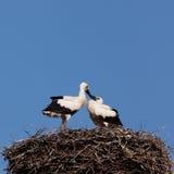 Pájaros de bebé de la cigüeña blanca en una jerarquía Imágenes de archivo libres de regalías