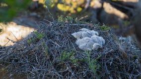 Pájaros de bebé de un ave rapaz Fotos de archivo