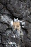 Pájaros de bebé en el acantilado Imagen de archivo libre de regalías