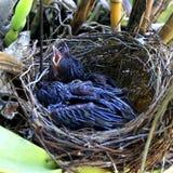 Pájaros de bebé hambrientos en jerarquía Imágenes de archivo libres de regalías