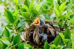 Pájaros de bebé hambrientos en una jerarquía quisieran que el pájaro de la madre viniera Foto de archivo