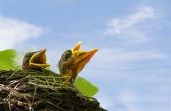 Pájaros de bebé hambrientos y cielo azul Fotos de archivo