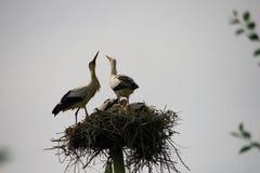 Pájaros de bebé de las cigüeñas blancas en una jerarquía en el verano Foto de archivo libre de regalías