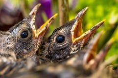 Pájaros de bebé, petirrojos, contando con la comida imagen de archivo